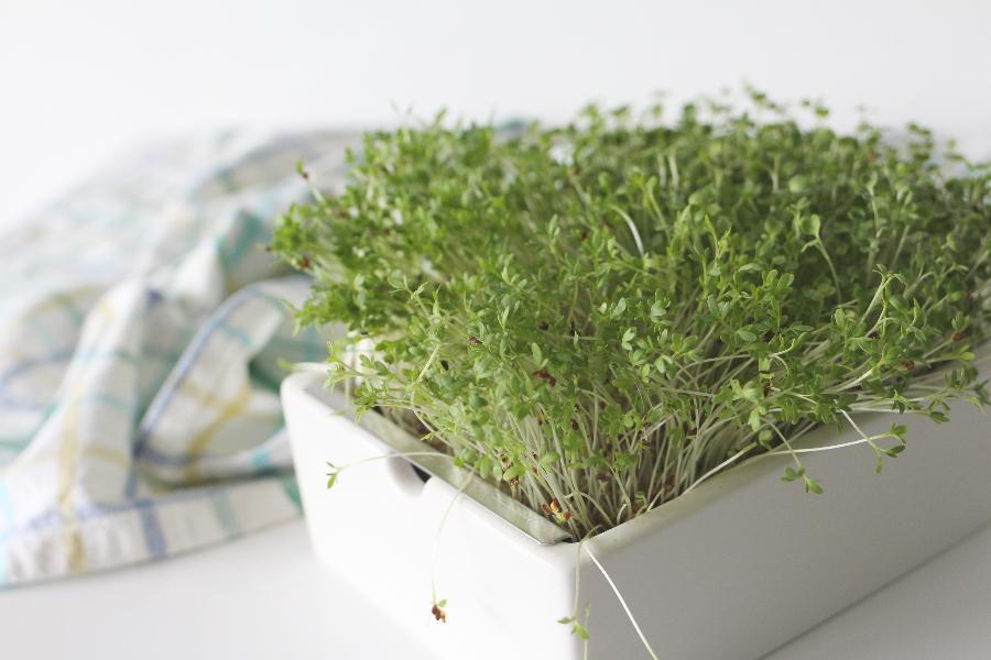 Microgreens, das ganzjährige Superfood – Gemüse in Miniformat